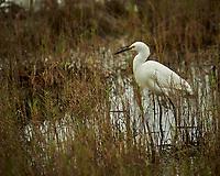 Snowy Egret. Black Point Wildlife Drive, Merritt Island National Wildlife Refuge. Image taken with a Nikon D3s camera and 70-200mm f/2.8 lens with a 2.0 TC-E III teleconverter (ISO 200, 400 mm, f/5.6, 1/640 sec).
