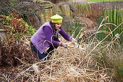 Cutting back ornamental grasses (miscanthus) in early spring