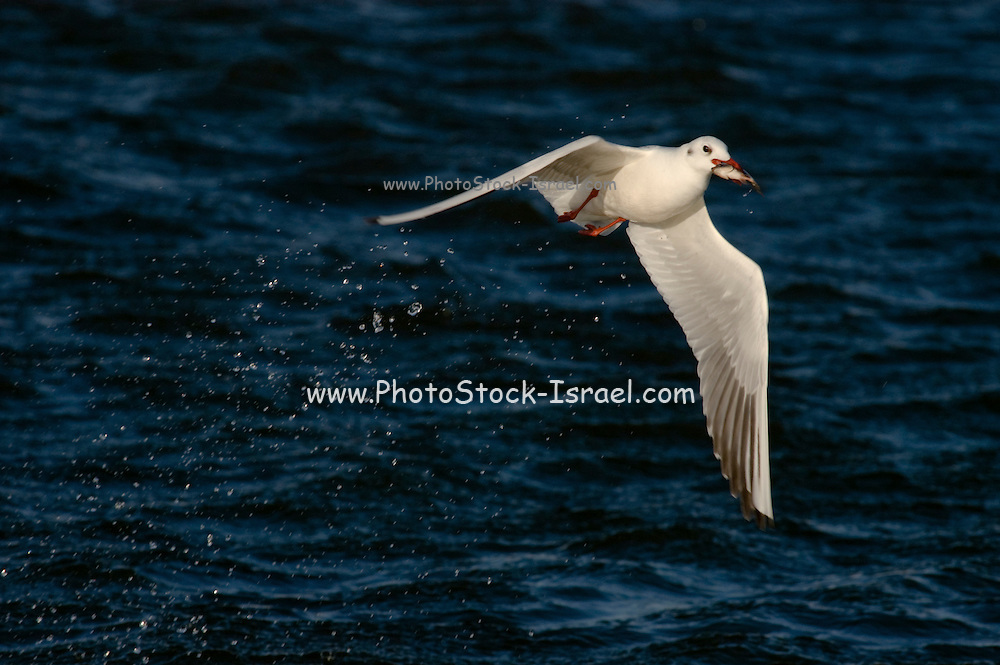 Israel, Coastal Plains, Black-headed Gull (Larus ridibundus) flying away with a Tilapia in it's beak fished from the fish ponds