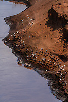 Herder of the Kara tribe herds cattle, along the Omo River,  Omo Valley, Ethiopia.