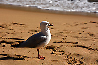 seagul on the beach at the great ocean road