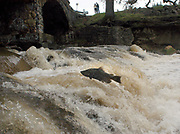 A Chinook salmon leaps up the falls at below the bridge at Zinfandel Lane in St. Helena Tuesday, December 7, 2004.
