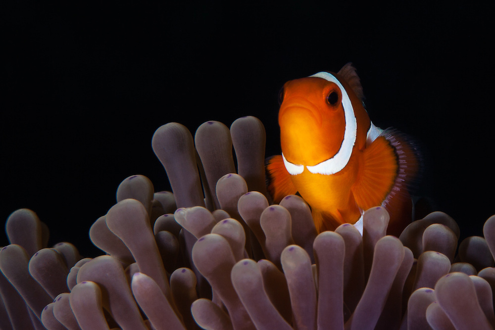 THAILAND. Similan Islands National Marine Park, Phangna Province. March 23rd, 2013. A false perucla anemonefish or clownfish (sp. amphiprion ocellaris) nests in an anemone (sp. heteractis magnifica).  The two animals share a symbiotic relationship whereby the fish removes parasites and protects the anemone, while it is able to live amongst the stinging tectacles by secreting a specialised mucus onto its skin.