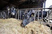 Nederland, Leur, 4-3-2012Koeien van het soort Angus, eten hooi in de stal.Foto: Flip Franssen/Hollandse Hoogte
