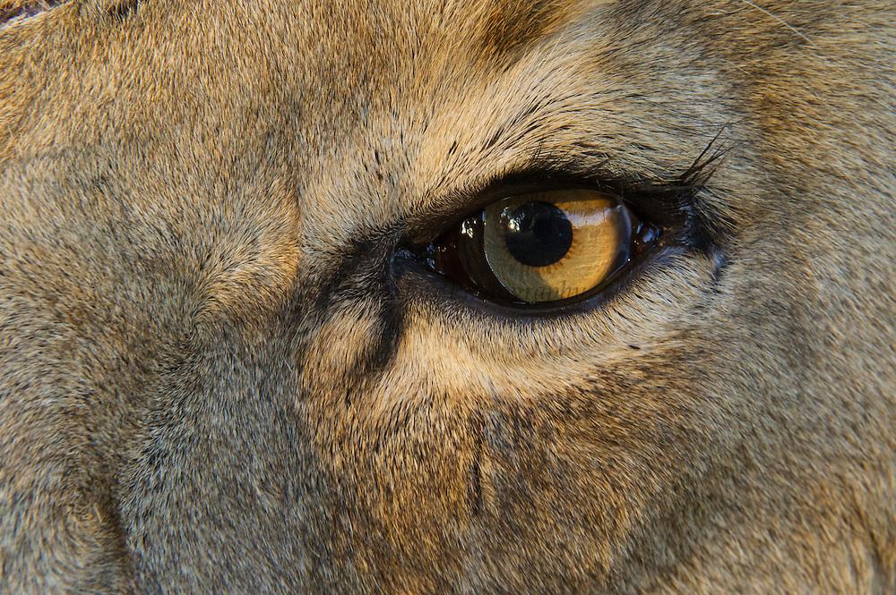 Lion eye  (Panthera leo)<br /> Pilansberg Game Reserve<br /> North West Province<br /> SOUTH AFRICA