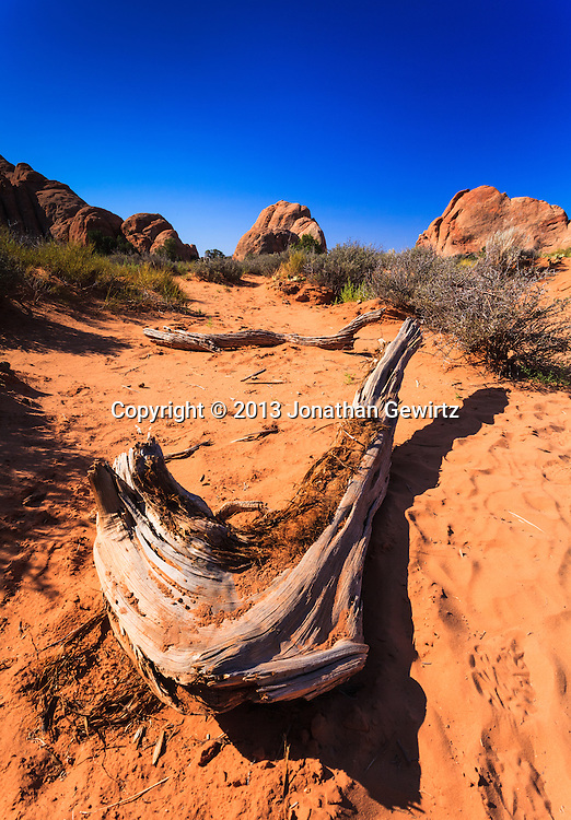 Worn, dramatically curved pieces of dead trees on the sandy desert floor in Arches National Park, Utah. WATERMARKS WILL NOT APPEAR ON PRINTS OR LICENSED IMAGES.