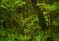 Lush green of vine maple and forest ferns in the Hoh Rainforest, Olympic National Park, Washington