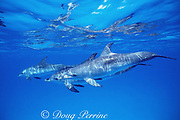 juvenile Atlantic spotted dolphins, Stenella frontalis, (spots develop in adults) Bahamas ( Western Atlantic Ocean )
