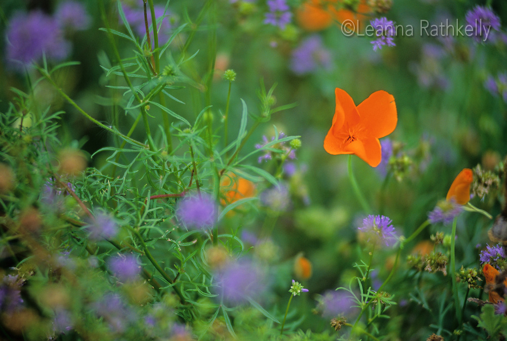 An orange california poppy in a wildflower meadow.