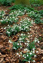 Snowdrops - Galanthus plicatus 'Finale' in Beth Chatto's woodland garden