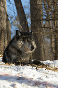 Black wolf bedded in wooded winter habitat.