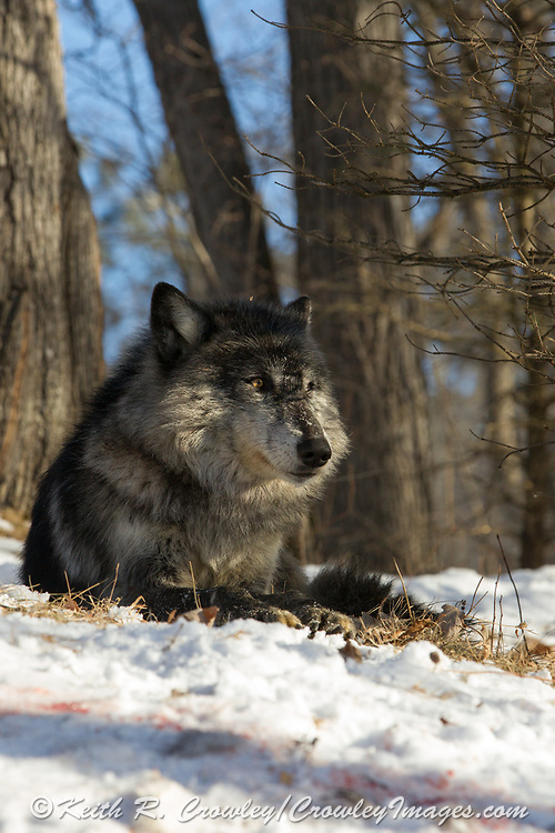 Black wolf bedded in wooded winter habitat.