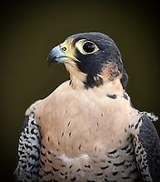 This captive Peregrine Falcon (Falco Peregrinus) serves as an ambassador to his species.  Photographed at the Monterey Bay Birding Festival in California.