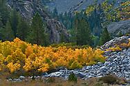 Aspen trees in fall near Tioga Pass, Mono County, California