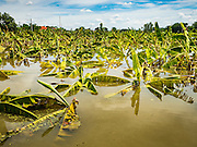 30 SEPTEMBER 2016 - SAI NOI, AYUTTHAYA, THAILAND: Drowned banana trees on a banana plantation in Sai Noi, near the Chao Phraya River. The Chao Phraya River, the largest river that runs through central Thailand, has hit flood stage in several areas in Ayutthaya and Ang Thong provinces. Villages along the river are flooded and farms are losing their crops due to the flood. This is the same area that was devastated by floods in 2011, but the floods this year are not expected to be as severe. The floods are being fed by water released from upstream dams. The water is being released to make room for heavy rains expected in October.      PHOTO BY JACK KURTZ
