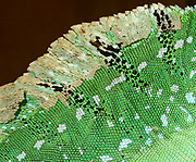 Close-up abstract of the skin pattern of an adult Green basilisk or Plumed basilisk or Jesus Christ lizard (Basiliscus plumifrons) at a reptile house in St Paul's Bay Malta