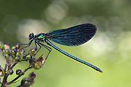 Beautiful Demoiselle - Calopteryx virgo - male