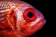 Centroberyx gerrardi (Bight Redfish)