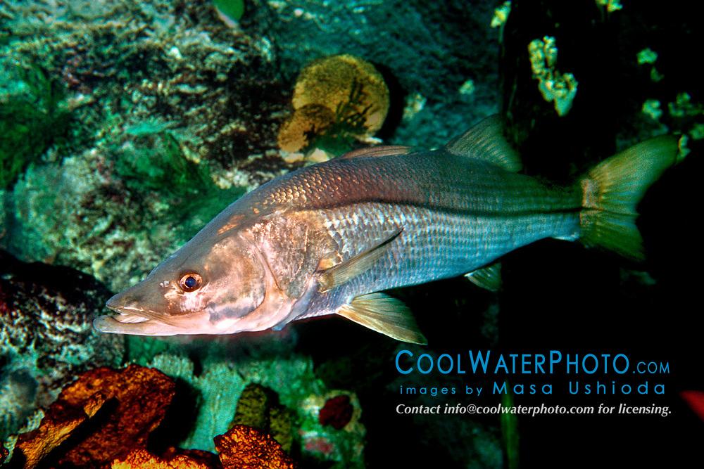 common snook (c), Centropomus undecimalis, Islamorada, Florida, Atlantic Ocean