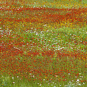 A field of wildflowers in northern Minnesota during summertime.