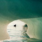 A Black Guillemot fishing around the edges of a large iceberg. Svalbard, Norway