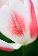 Tulip 'All That Jazz' Keukenhof Spring Tulip Gardens, Lisse, The Netherlands.