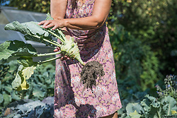 Senior woman harvesting kohlrabi in vegetable garden, Altoetting, Bavaria, Germany