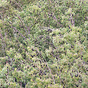 Mauritius giant fruit bats, Pteropus niger, in a colony in Black River Gorges National Park