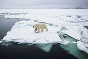 A male polar bear (Ursus maritimus) walking on pack ice in the landscape on the Arctic Ocean, Svalbard, Norway