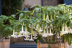 Datura in the courtyard at Manoir de Raynaudes. Brugmansia, Angel's Trumpets