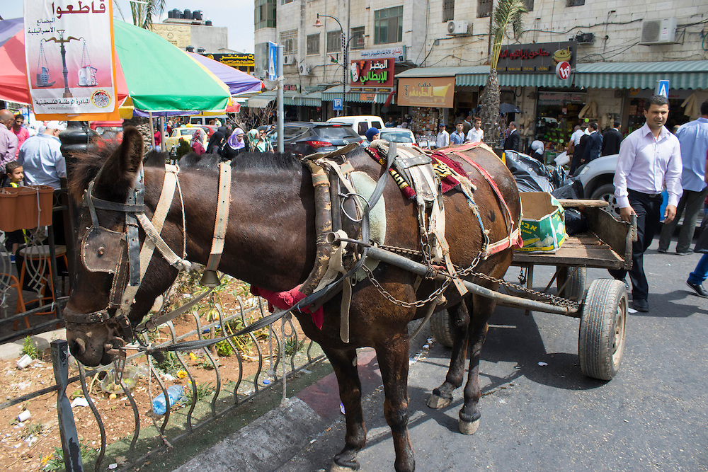 Donkey, Ramallah, Palestine. Donkeys are used for transportation and working in the fields. The Palestinian Animal League is surveying the welfare of equines across the country