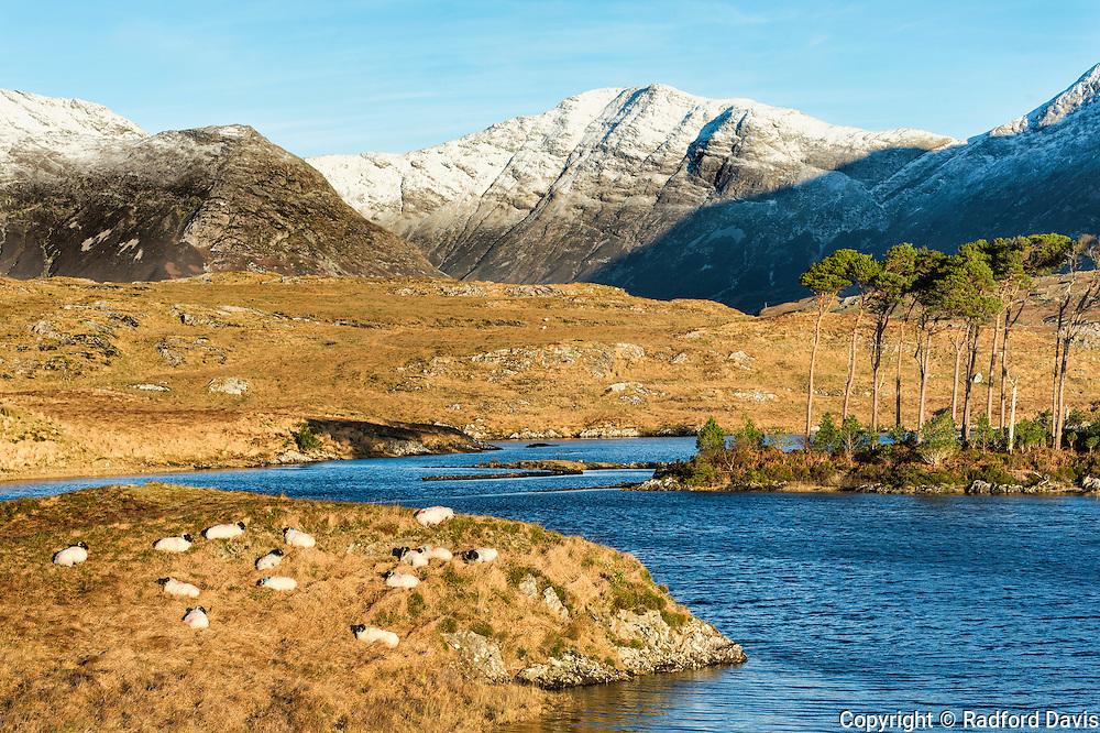 Ireland near Clifden in the winter. Sheep sun themselves on a small peninsula beneath snowy mountains.