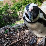 Endangered African penguin (Spheniscus demersus) taking a break from sea