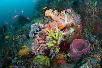 Coral Head with Healthy Soft Corals and Feather Stars..Shot in Indonesia