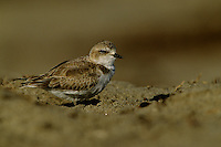 A Snowy plover (Charadrius alexandrinus) in the sand.