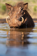 Warthog ((Phacochoerus africanus) cooling down and drinking in a pond at Zimanga, South Africa.