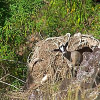 France, Guadeloupe, Les Saintes. Goats roam the island of Terre-de-Haut in Iles de Saintes, Guadeloupe.