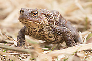 Common toad (Bufo bufo) leaving the spawning pond and returning to the woods. Dorset, UK.