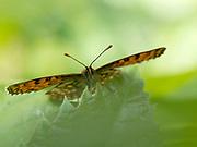 Heath Fritillary Butterfly (Melitaea athalia), Blean Woodlands, Kent UK