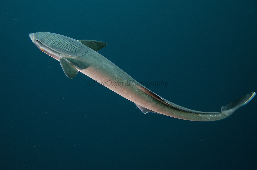 Remora (Remora remora)<br /> Baited shark dive<br /> Umkomaas<br /> KwaZulu Natal<br /> SOUTH AFRICA<br /> Range: Widespread in all tropical and subtropical continental waters