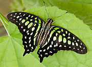 Close up of a Tailed jay butterfly (Graphium agamemnon) resting on a leaf with open wings at the Long Sutton Butterfly and Wildlife Park, Lincolnshire