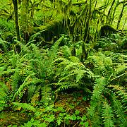 North America, United States, Northwest, Pacific Northwest, West, Washington, Olpmpic National Park, Olympic NP, Olympic, Hoh, Hoh Rain Forest, rain forest. Hoh Rain Forest in Olympic National Park, Washington.