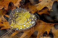 """""""Floating Aspen Leaf"""".Quaking aspen leaf with water droplets floating over oak leaves in Walden Pond."""