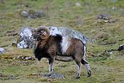 Mouflon (Ovis aries) Hoghland Wildlife Park, Kingussie, Scotland.