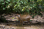 Gray Brocket Deer (Mazama gouazoubira) Female at saltlick<br /> Yasuni National Park, Amazon Rainforest<br /> ECUADOR. South America<br /> HABITAT & RANGE: Forests of South America from northern Argentina to Colombia and the Guianas. Also Trinidad. Extinct from Tobago.