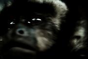 un mono, preso