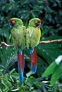 A pair of military macaws (Ara militaris). Range: South Mexico to East Bolivia, Captive, Portland Oregon. June 2000