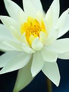 Nymphaea 'Yellow Princess' - waterlily