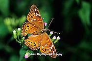 03468-00110 Empress Leilia butterfly (Asterocampa leilia) on Crucita Mistflower (Eupatorium odoratum) Santa Ana National Wildlife Refuge, Hidalgo Co. TX
