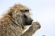 Close-up portrait of an Olive baboon (Papio anubis). Photographed in Kenya